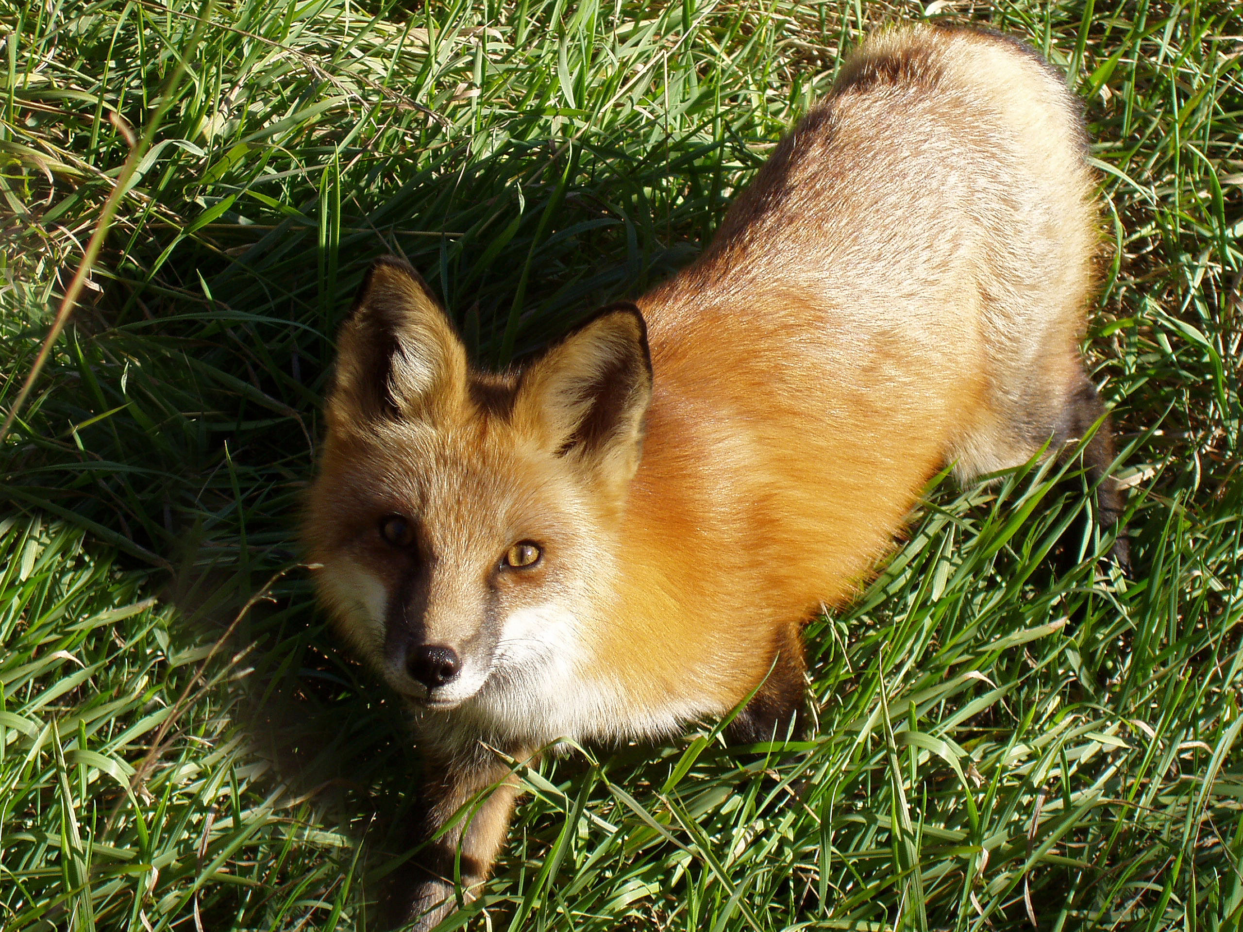 Fox, looking up